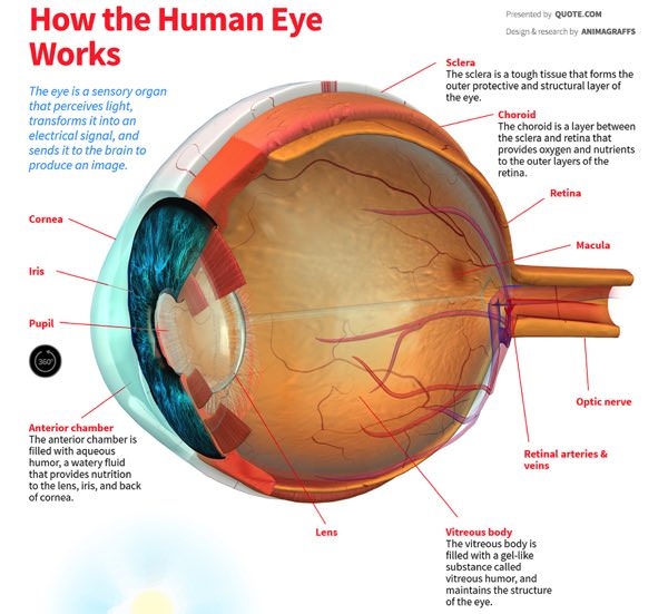 how the human eye works animation science